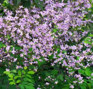 Meadow-rue (Thalictrum)